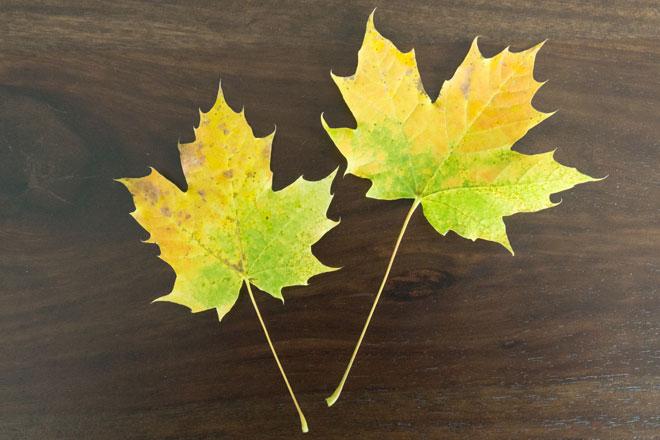 Oktober-Lieblinge, Gartenbesucher, zwei Ahornblätter gelb, grün gefärbt