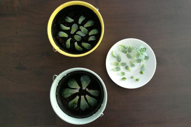 Sukkulenten vermehren, Blattstecklinge auf Pflanzsubstrat