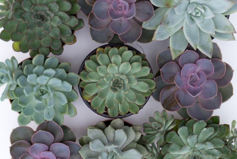 Große Sukkulenten für die DIY-Idee Blumentöpfe bemalen