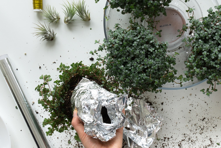 Grünpflanzen in Alufolie für den Adventskranz